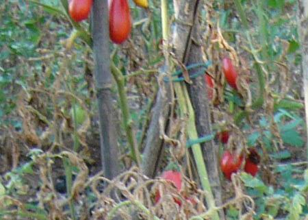 Immagine pommodori, accordo Toscana