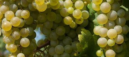 vino e uva