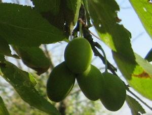Agricoltura Sociale - olive