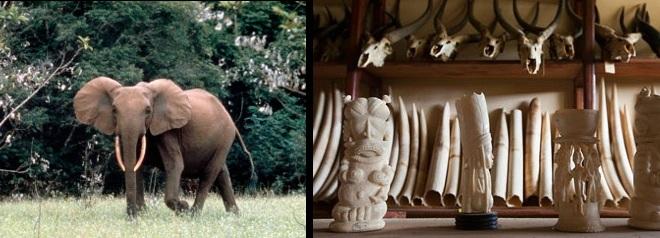 elefante e avorio