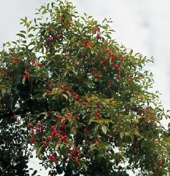 pianta-amarene