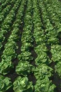 campo-di-insalata