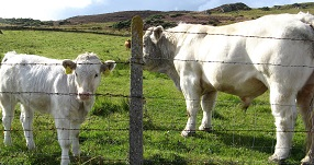 vitelli