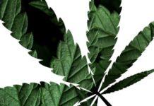 foglia di Cannabis