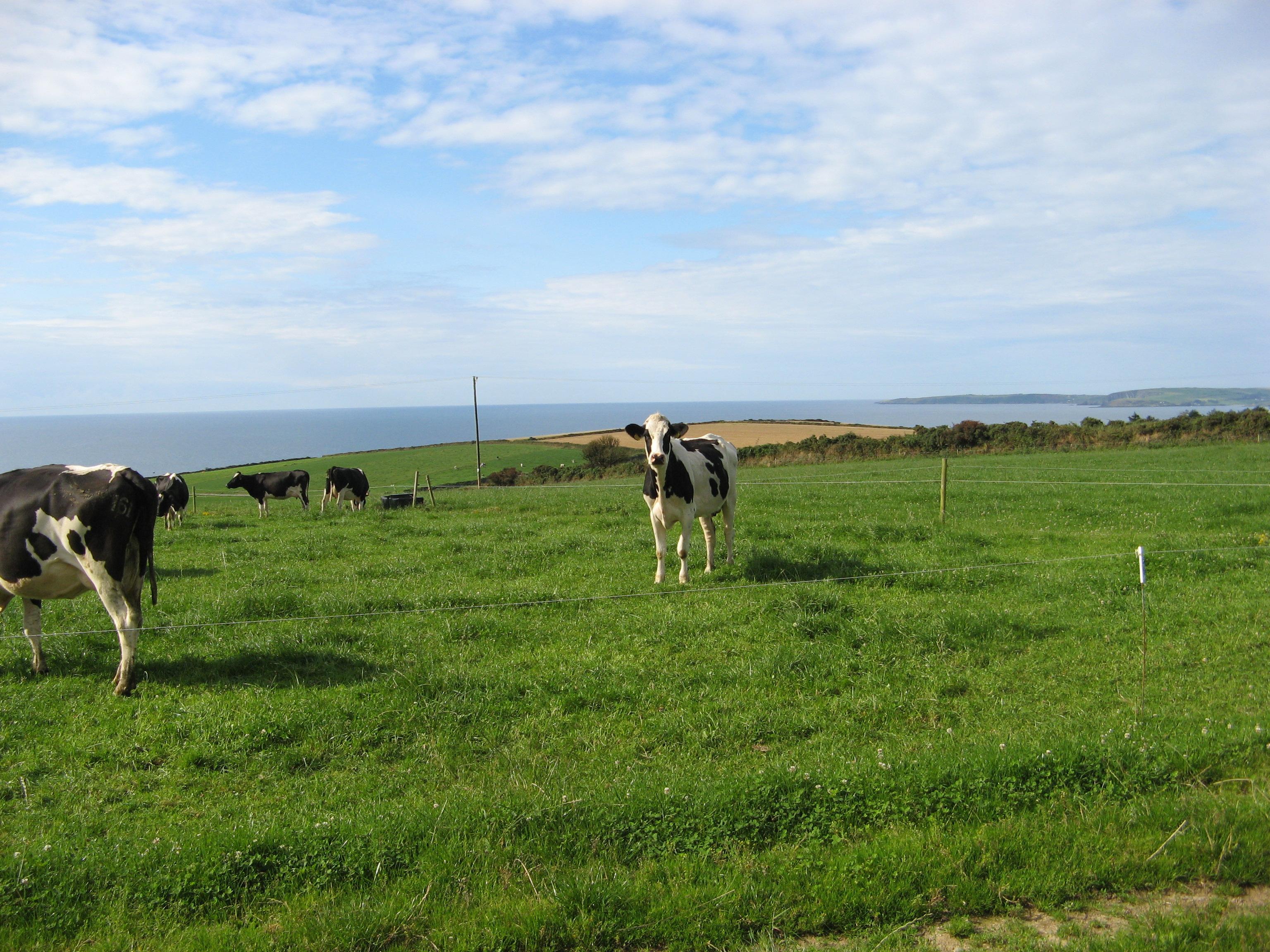 mucche-su-prato